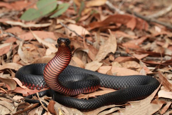 Article image for Snake catchers 'flat out' this summer