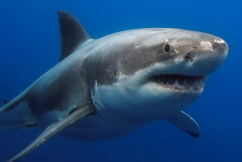 5,500 great white sharks lurking off Australia's east coast