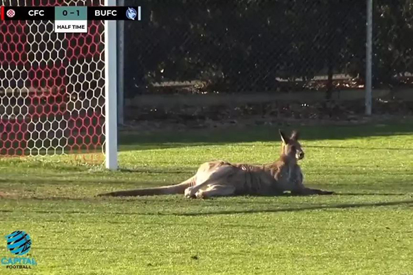 Article image for Soccer-roo invades suburban game, refuses to leave