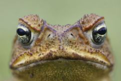Researchers crack to cane toad's genetic code