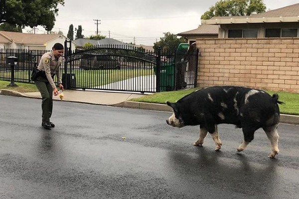 Article image for WATCH | Police round up giant runaway pig using Doritos