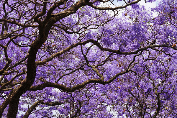 Article image for Brisbane council has an 'absolutely ridiculous' plan to cutjacaranda trees