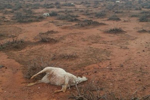 Article image for Farmer finds hundreds of dead kangaroos, cows and goats following weather anomaly