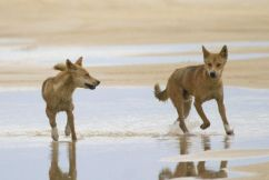 Always remember that dingoes are wild animals