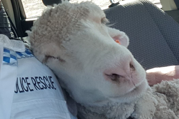 Article image for Cop's sheep selfie goes viral: 'She was a bit sheepish at first'