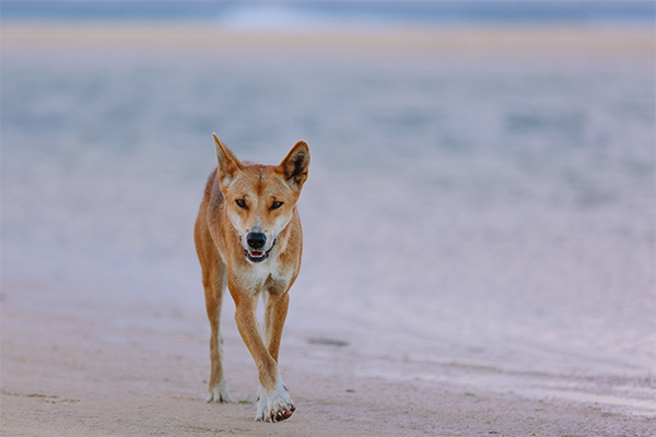 Article image for Toddler dragged away by dingo at Fraser Island
