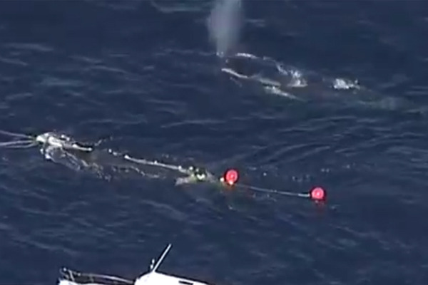 Article image for Rescuers save humpback whale calf trapped in netting
