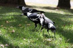 Avoid being swooped: Masks could confuse magpies