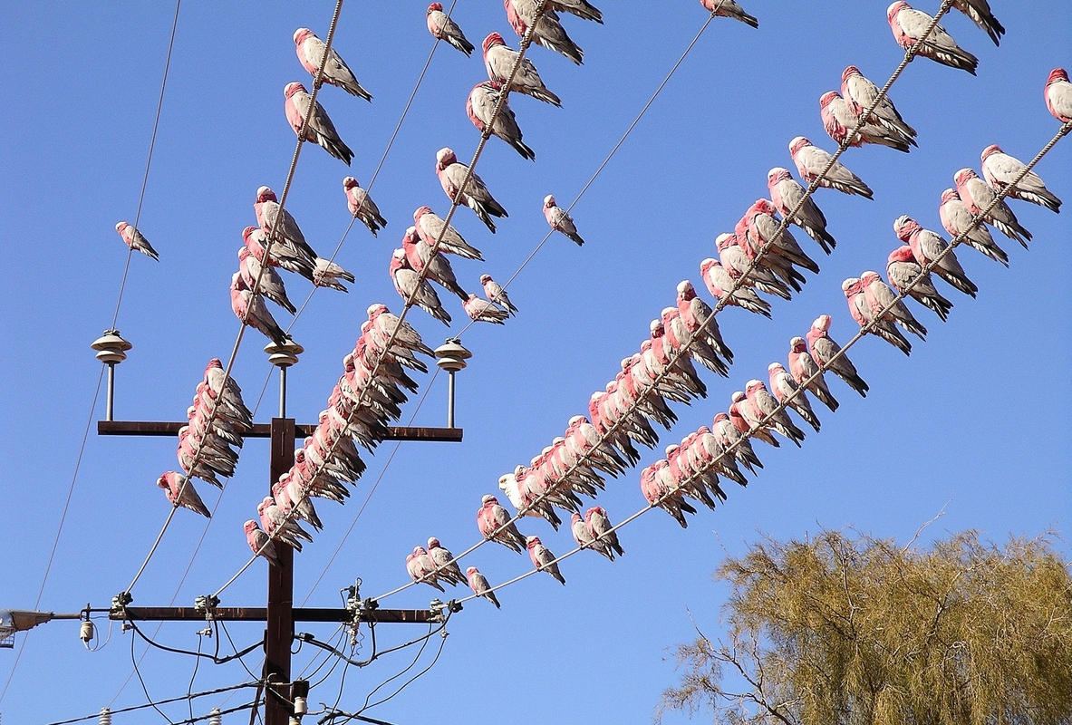 Article image for Outback town's unconventional solution to a bird-brained problem