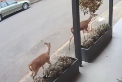 Sydney mayor has 'no i-deer' where inner west's surprise visitors came from