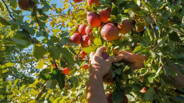 Article image for The 'underwhelming' take-up of the fruit-picking scheme