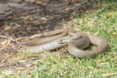 Why you might be seeing more snakes around